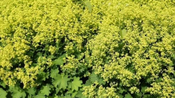 Alchemilla Mollis - lady's mantle plant growing conditions https://organicgardeningeek.com