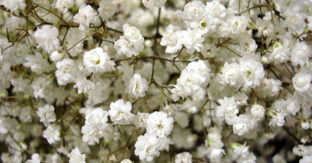 Babys Breath 3 - All about sustainable and organic gardening tips and tricks. 2021 - Babys Breath,Baby's Breath blooms,baby's breathe - https://organicgardeningeek.com/babys-breath-beautiful-white-blossoms/