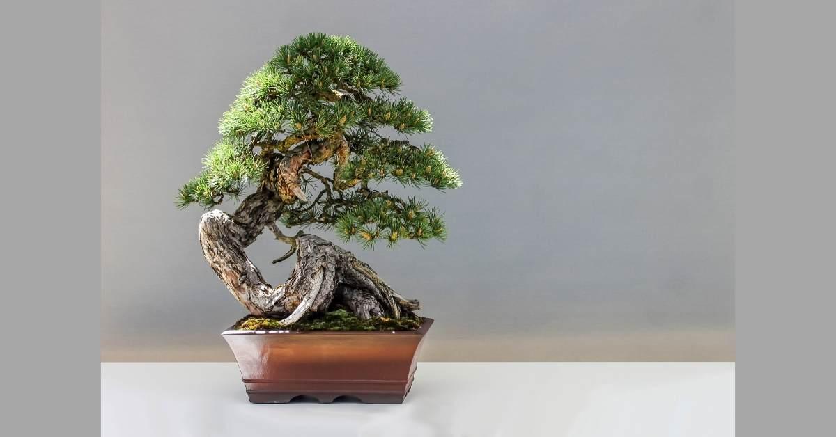 Bonsai Pots That Will Fit A Small Tree https://organicgardeningeek.com