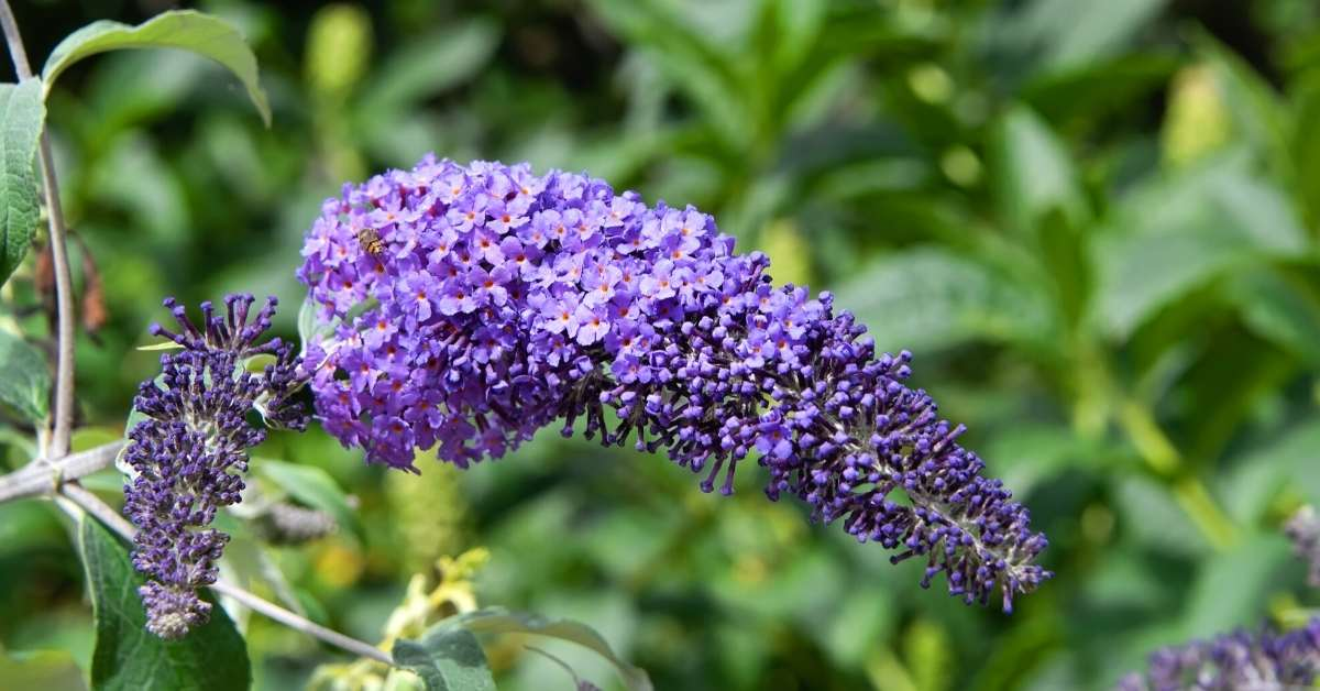 How to grow butterfly bush https://organicgardeningeek.com