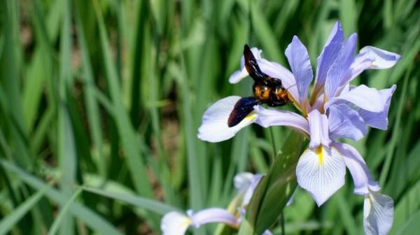 Growing butterfly iris at home https://organicgardeningeek.com