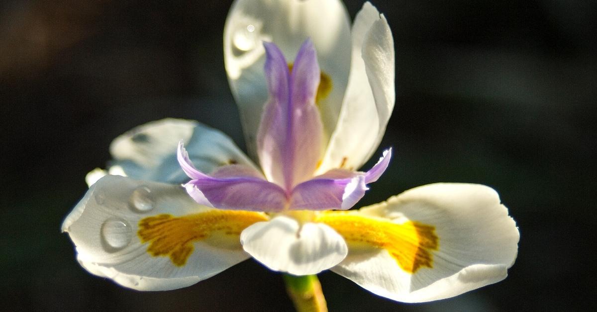 Growing Butterfly Iris https://organicgardeningeek.com