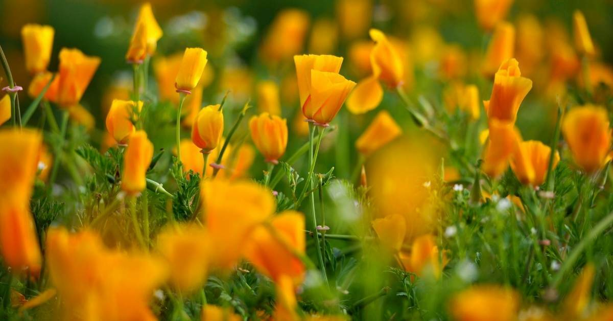 California Poppy 12 - All about sustainable and organic gardening tips and tricks. 2021 - How to Grow the California Poppy Plant,California Poppy Rosa Romantica,Dwarf California Poppies,White Linen,Poppy Containers - https://organicgardeningeek.com/how-to-grow-the-california-poppy-plant/