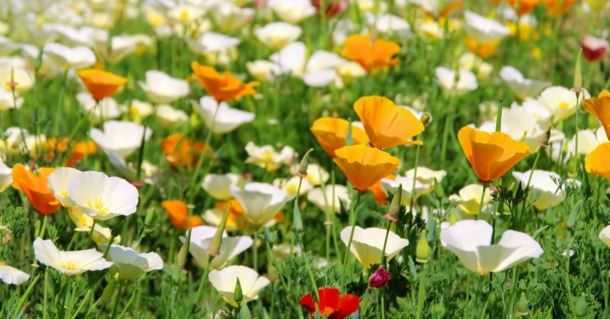 How to Grow the California Poppy Plant https://organicgardeningeek.com