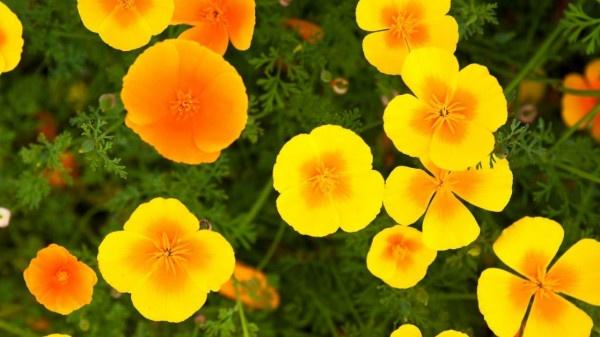 Growing guide for california poppy plant https://organicgardeningeek.com