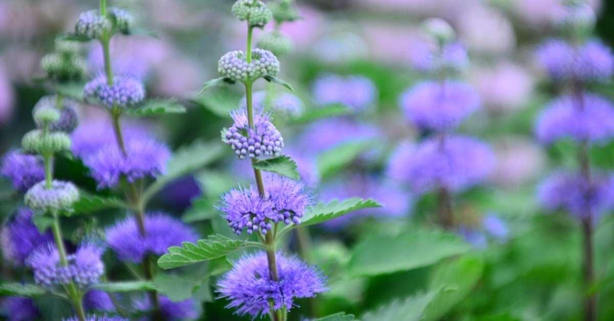 Feeding the soil, and Some other important varieties - Caryopteris divaricata 'Snow Fairy' - caryopteris longwood blue - https://organicgardeningeek.com