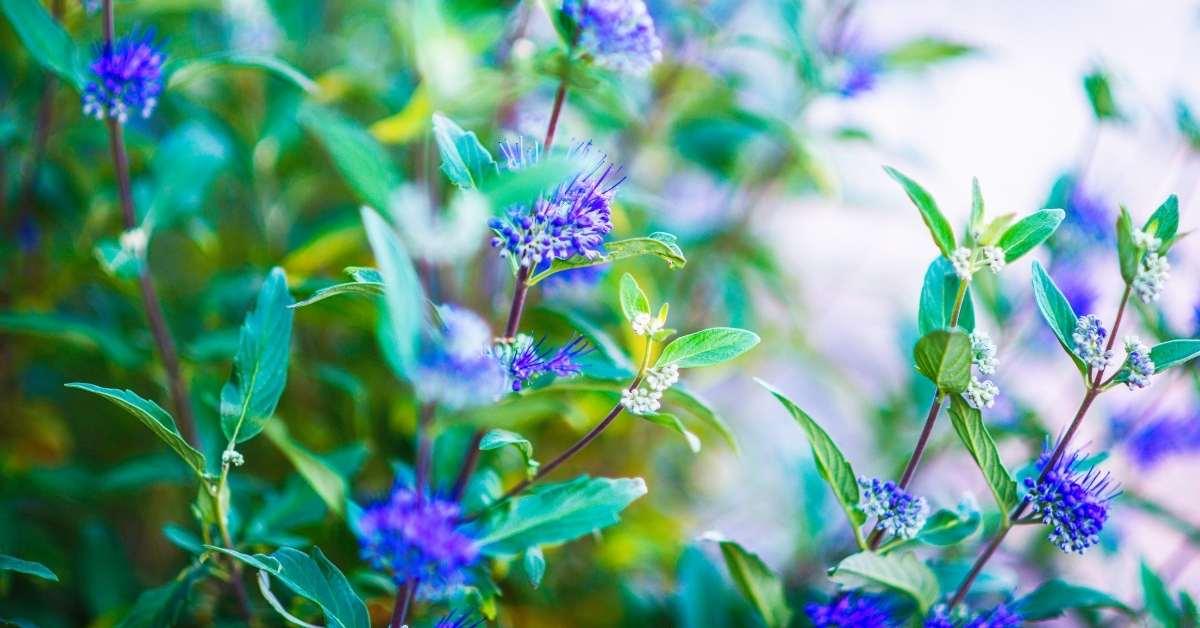 How to grow Caryopteris long Blue https://organicgardeningeek.com