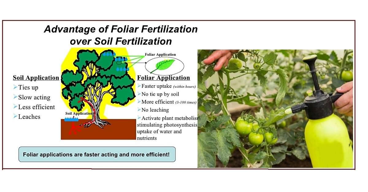 Foliar Fertilization of tomato plants https://organicgardeningeek.com