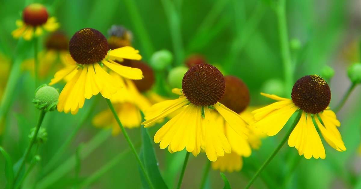 Some Other Significant Helenium varieties and specifications: https://organicgardeningeek.com
