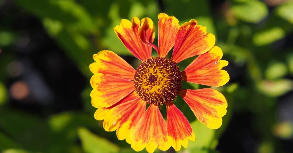 Helenium hoopesii (Sneezeweed Hoopesii,  Orange sneezeweed) https://organicgardeningeek.com