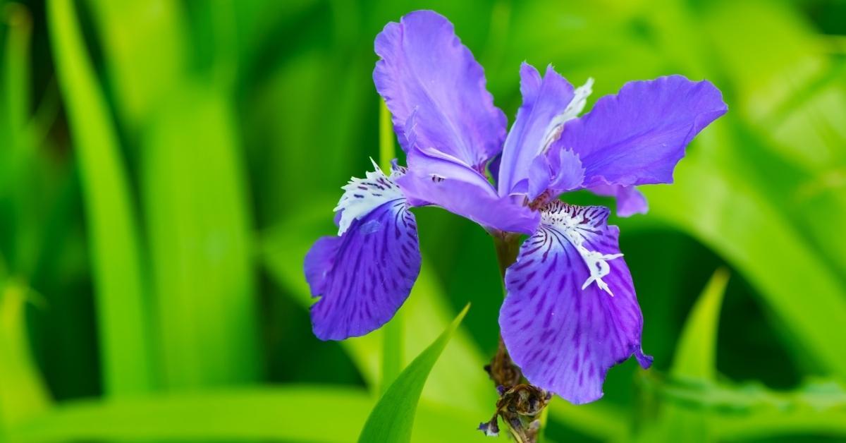 iris setosa - dwarf arctic iris https://huglero.com