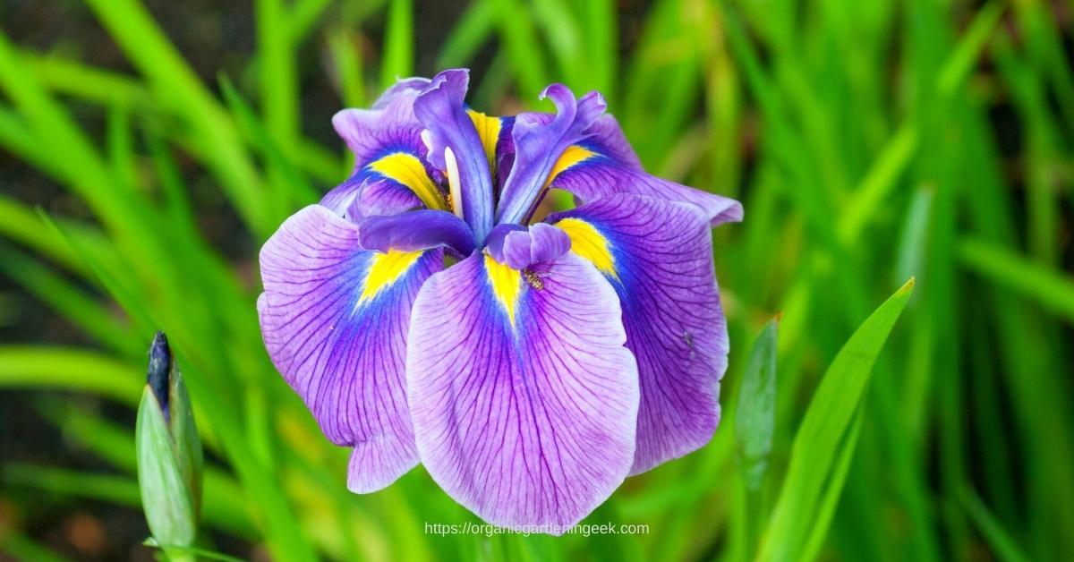 growing japanese iris at home httpd://organicgardeningeek.com