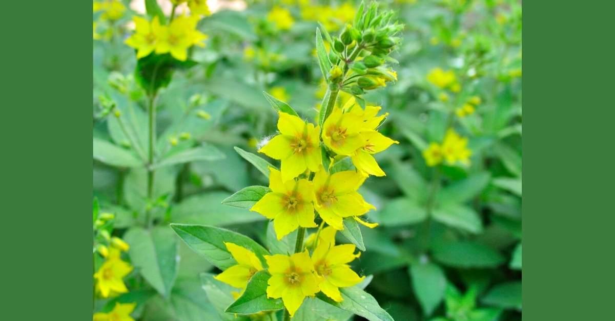 Lysimachia plant growing guide (Loosestrife) https://organicgardeningeek.com