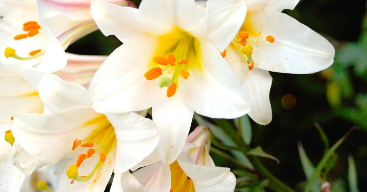 How To Grow Madonna Lilies - What does a madonna lily look like? - Leaf appearance https://organicgardeningeek.com