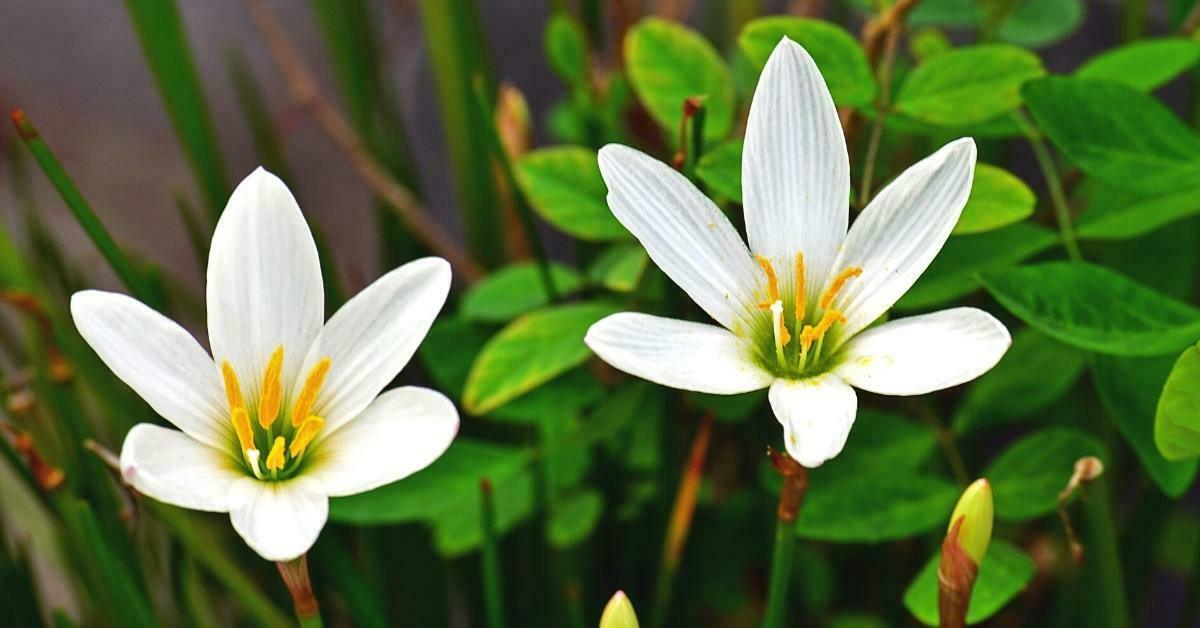 How to Propagate Madonna Lilies? Madonna Lily Diseases And Pests https://organigardeningeek.com
