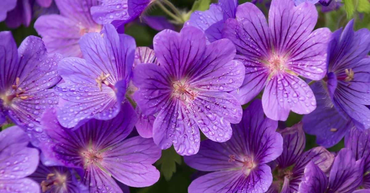 Growing Perennial Geraniums - The best geranium varieties to grow https://organicgardeningeek.com