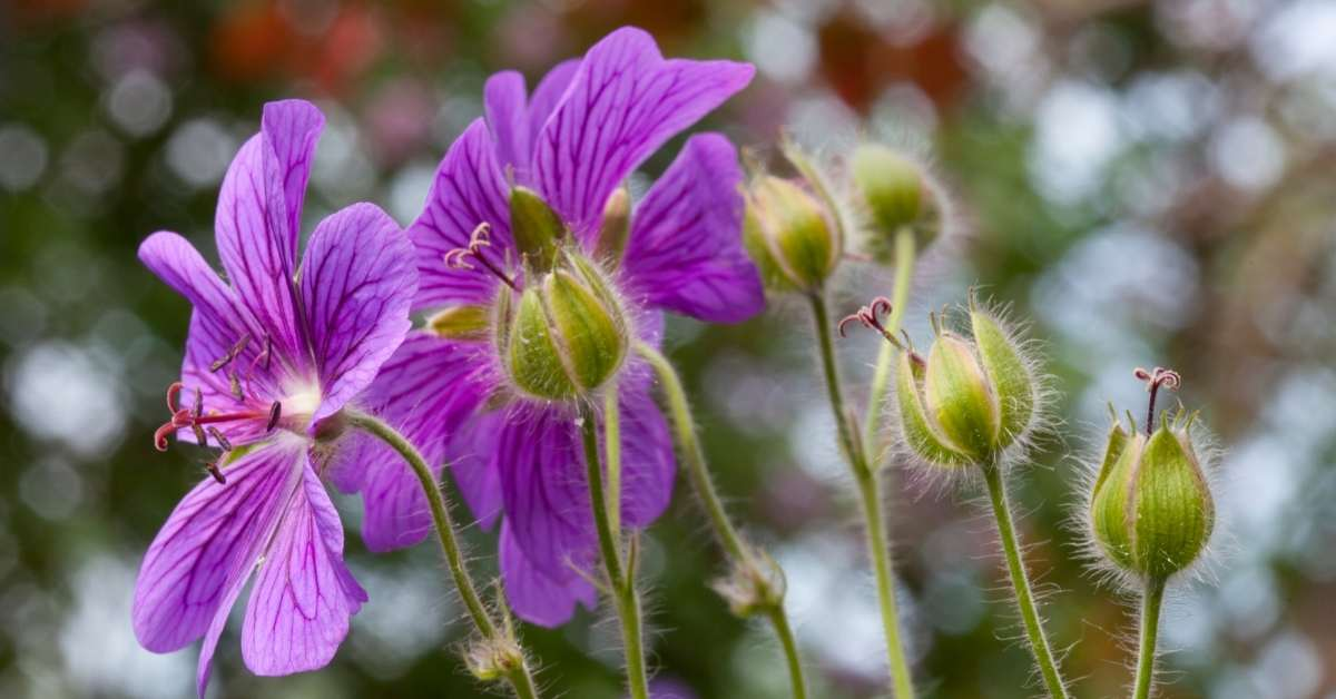 Perennial Geraniums 4 - All about sustainable and organic gardening tips and tricks. 2021 - full sun perennials,Care for Perennial Flowers,full sun perennials that bloom all summer - https://organicgardeningeek.com/50-full-sun-perennials-to-start-growing/
