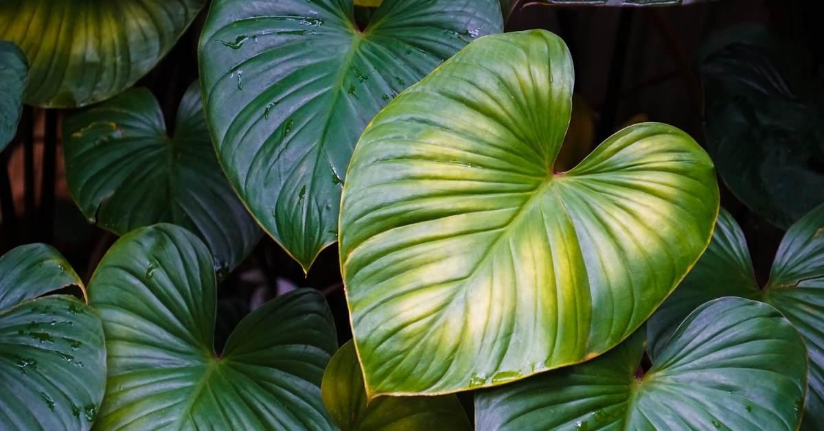 Philodendron https://organicgardeningeek.com
