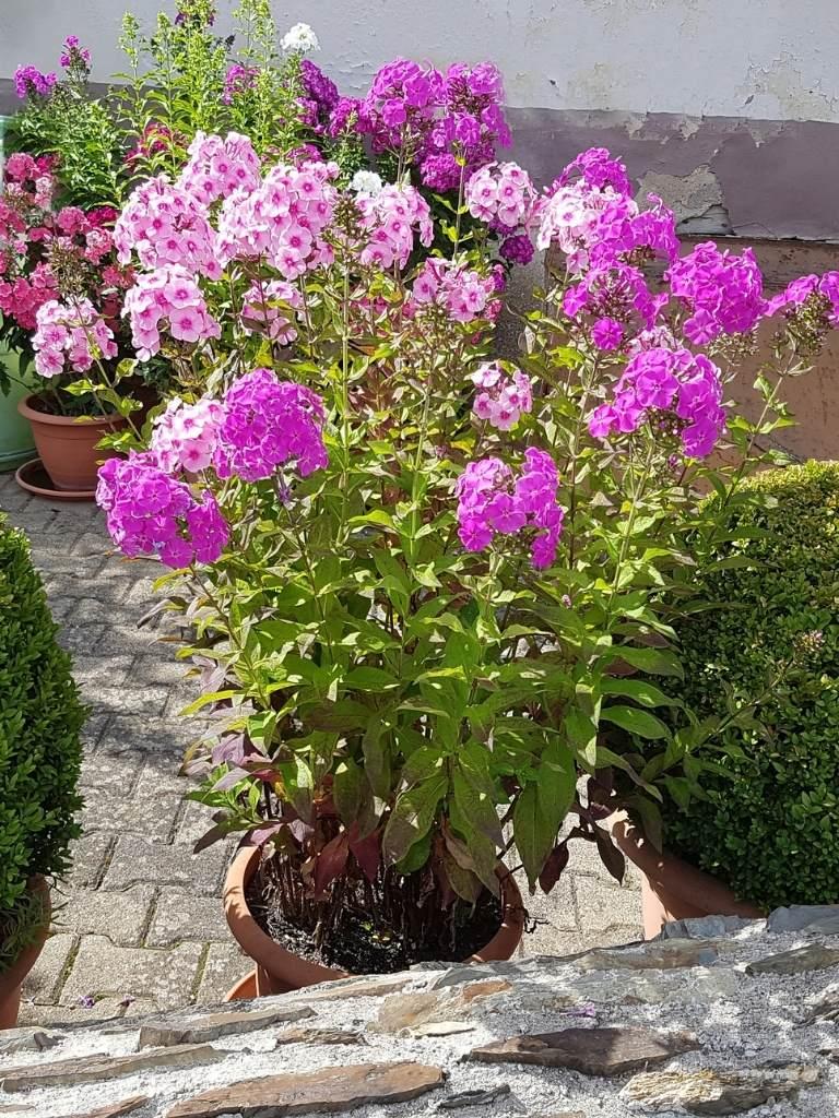 Phlox Paniculata: Growing Phlox in Pots https://organicgardeningeek.com