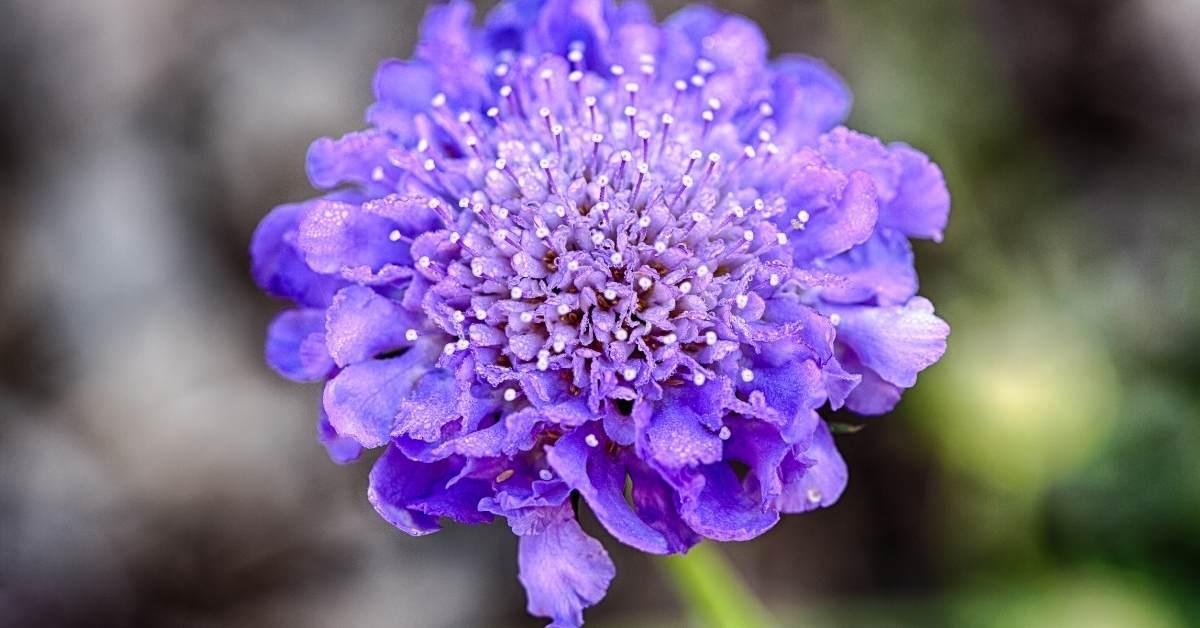 Pincushion plant https://organicgardeningeek.com