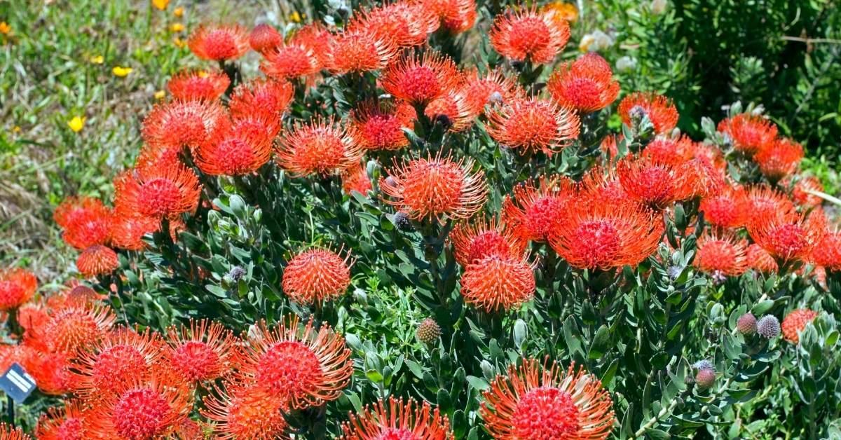 How To Grow Pincushion Flowers https://organicgardeningeek.com