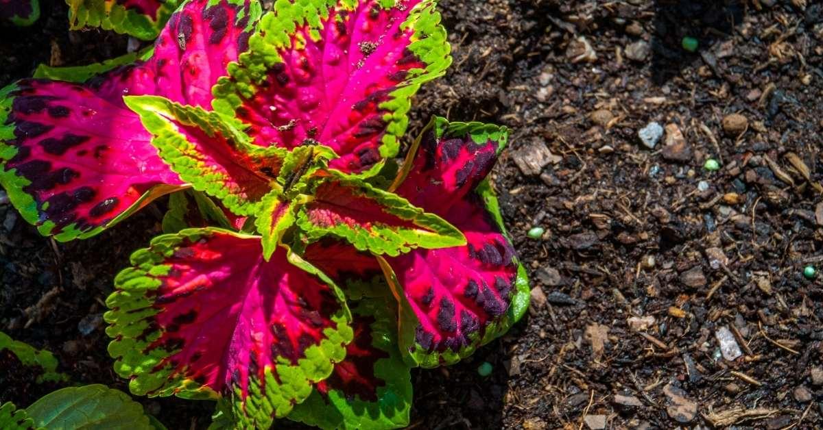 How to Propagate Plectranthus Perennials? How to prune? https://organicgardeningeek.com