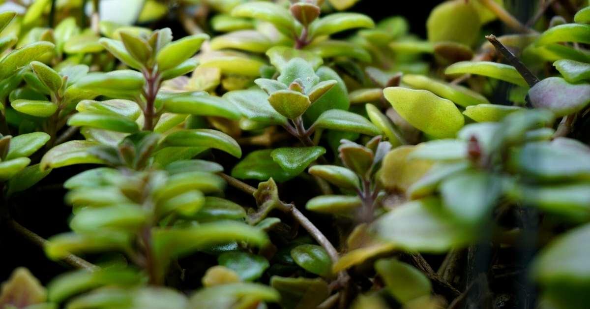 Plectranthus Cultivation - Is Plectranthus a fragrant plant? https://organicgardeningeek.com
