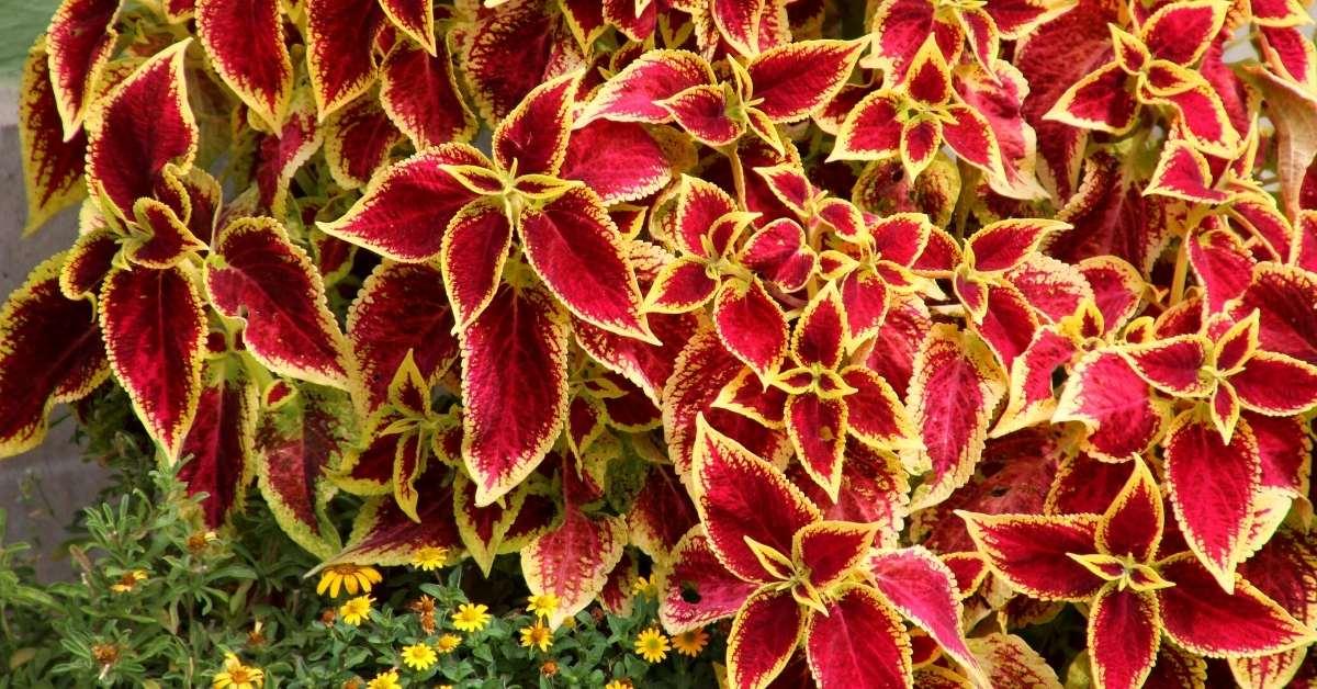 5 Plectranthus Varieties: How To Plant And Care https://organicgardeningeek.com