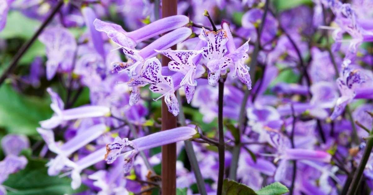 Plectranthus' Mona Lavender is a kind of Plectranthus (Common names spurflower, Mona Lavender) https://organicgardeningeek.com