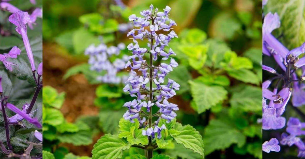 Plectranthus fruticosus is a kind of Plectranthus (Common name: blue spurflower) https://organicgardeningeek.com