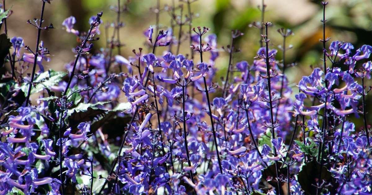 Plectranthus zuluensis is a kind of Plectranthus (Common name: Zulu spurflower) https://organicgardeningeek.com