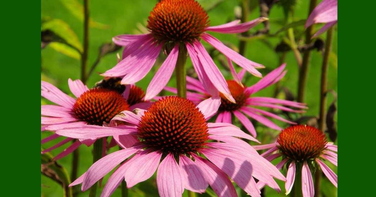 Purple caneflower https://organicgardeningeek.com