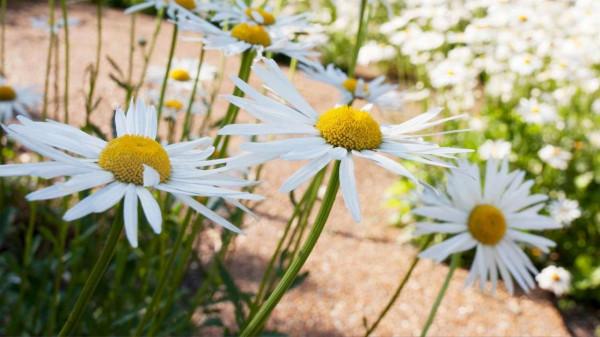 How to grow shasta daisies? https://organicgardeningeek.com