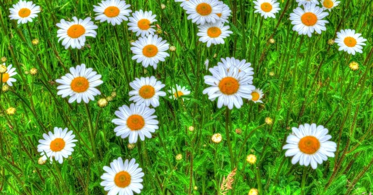 How to care for shasta daisies? - Are shasta daisies perennials? htps://organicgardeningeek.com