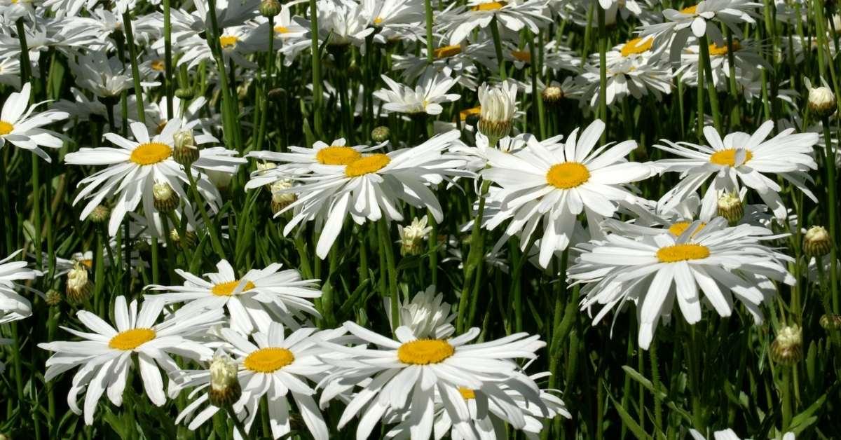 Easy to grow Shasta Daisy Seeds https://organicgardeningeek.com