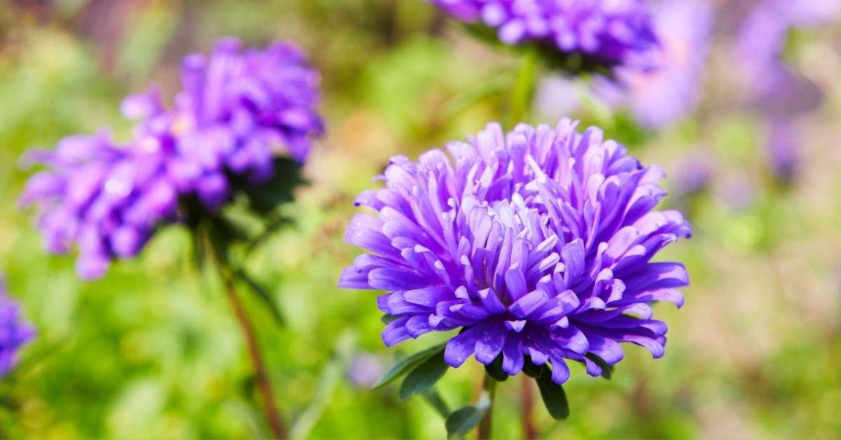 Fall Blooming Asters: 15 Varieties and Growing Guide - How to grow Aster Flowers? https://organicgardeningeek.com