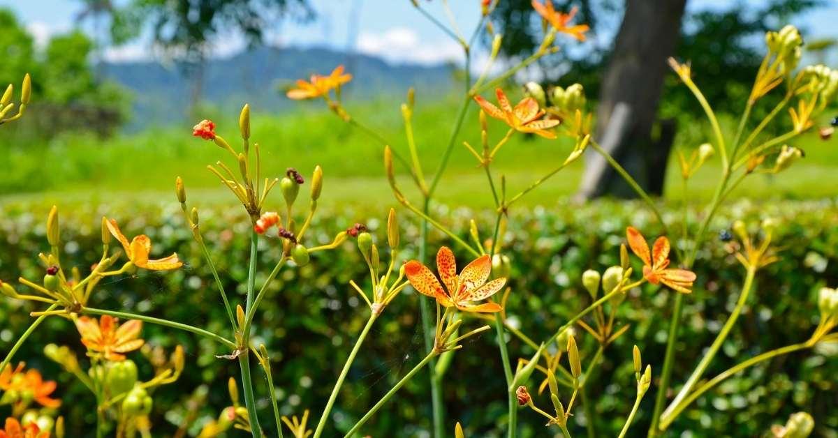 Belamcanda chinensis - common names anda, (Blackberry Lily,Belamcanda chinensisIris Domestica, Leopard Lily, Leopard Flower)   https://organicgardeningeek.com