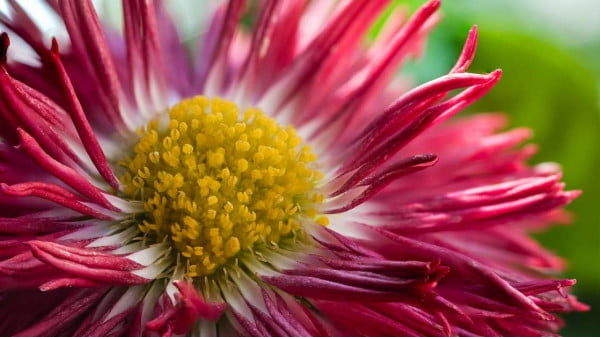 Bellis perennis ( bellis perennials, English daisy, common daisy) https://organicgardeningeek.com