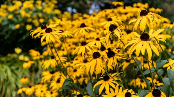 black eyed susan 2 - All about sustainable and organic gardening tips and tricks. 2021 - Delphinium Flower,growing delphinium from seed,greedy feeder,Dividing Delphinium,When to Plant Delphinium - https://organicgardeningeek.com/planting-and-growing-awesome-delphinium-flower/