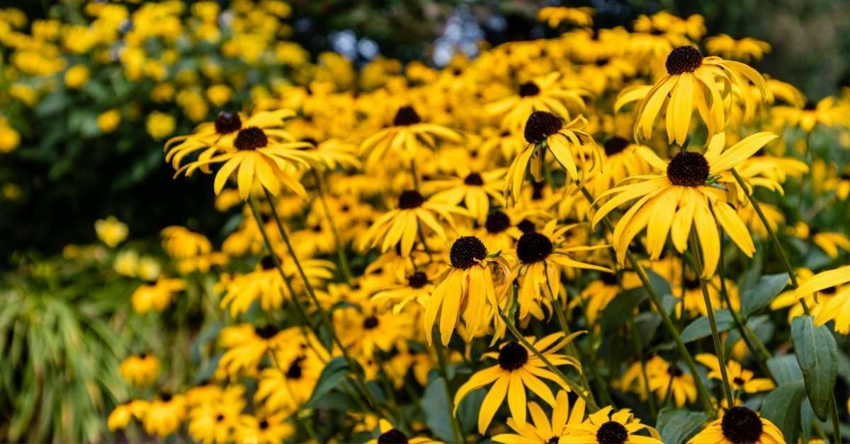 black eyed susan 2 - All about sustainable and organic gardening tips and tricks. 2021 - Fruit and Nut Trees to Grow,zone 5 plants,how long does it take for a tree to grow,zone 9 perennials,zone 5 perennials - https://organicgardeningeek.com/zone-5-perennials-fruit-and-nut-trees-to-grow/