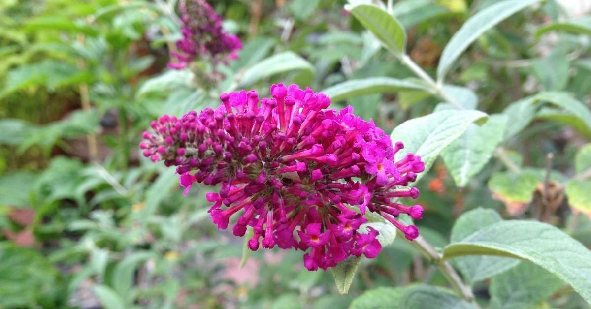 budleja davidii - Commonly available varieties include https://orgnaicgardeningeek.com
