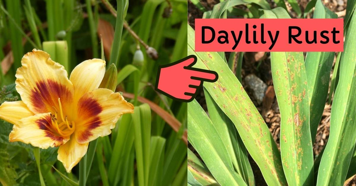 daylily rust - All about sustainable and organic gardening tips and tricks. 2021 - Daylily Growing Conditions,Will daylilies grow in clay soil,Can Daylilies Grow in Shade,Propagating Daylilies,Daylily Rust - https://organicgardeningeek.com/daylily-growing-conditions-grow-daylilies/