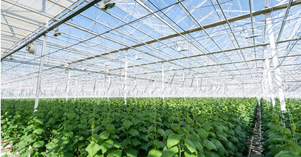 Green house tomato plant growing essentials https://organicgardeningeek.com