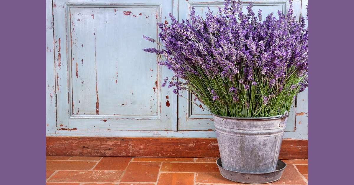 What are the most grown lavender varieties indoors? - How tall does lavender grow?  https://organicgardeningeek.com