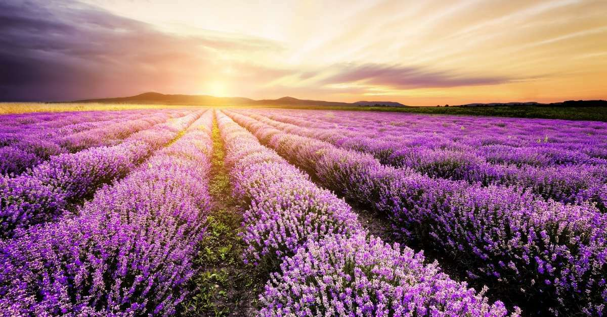 The Best Guide For Growing Lavender perennial Successfully https://organicgardeningeek.com