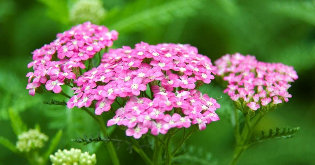 growing yarrow 1 - All about sustainable and organic gardening tips and tricks. 2021 - Growing Yarrow Plant,Containers and Naturalizing,Achillea millefolium,Red Velvet Achillea millefolium - https://organicgardeningeek.com/growing-yarrow-plant/
