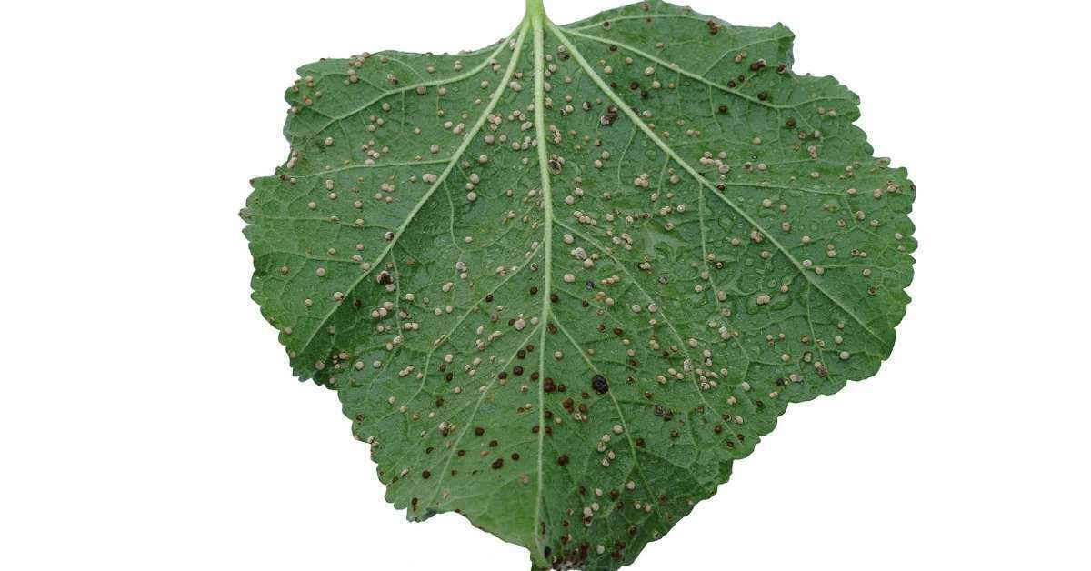 hollyhock rust - All about sustainable and organic gardening tips and tricks. 2021 - Alcea Hollyhock Growing Guide,Hollyhock Rust Disease,How To Grow Hollyhucks,Commonly Available Varieties - https://organicgardeningeek.com/alcea-hollyhock-growing-guide-and-variety/