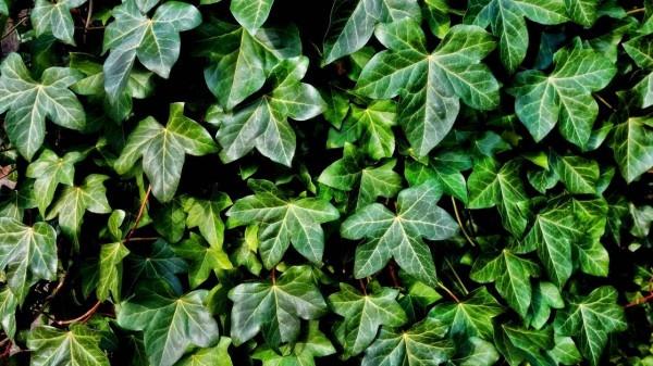 Is ivy toxic for animals? https://organicgardeningeek.com