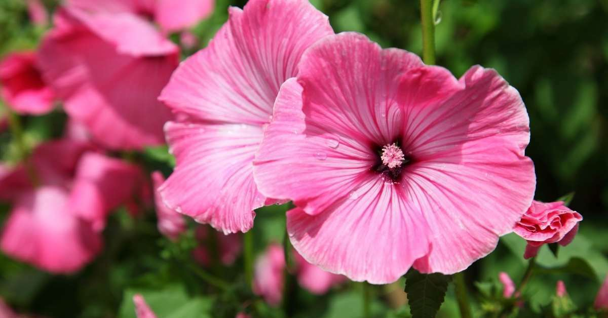Lavatera: How to grow Annual and Perennial Lavatera Flowers from the seed https://organicgardeningeek.com