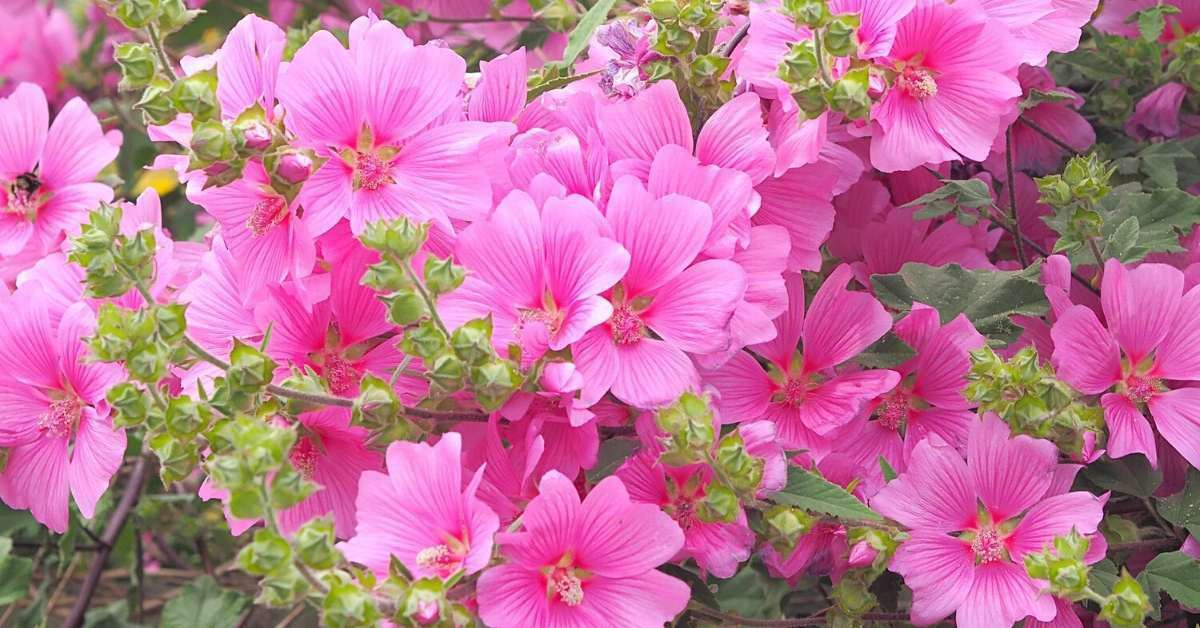 How to grow lavatera plant from seed for beatiful flowers https://organicgardeningeek.com